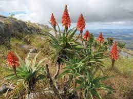 Aloe arborescens : entretien avec Anne-Françoise Lof